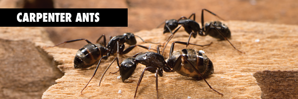 Carpenter_ants.BLOGgrphic
