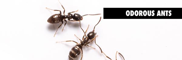 ODOROUS_ants.BLOGgrphic