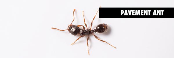 PAVEMENT_ants.BLOGgrphic