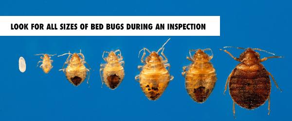 bedbugs_sizes.BLOGgrphic