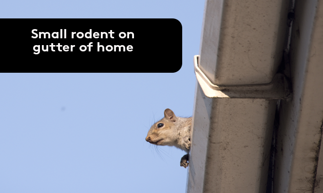 Small rodent on gutter of home