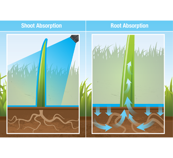 Root Shoot Absorption demonstration image