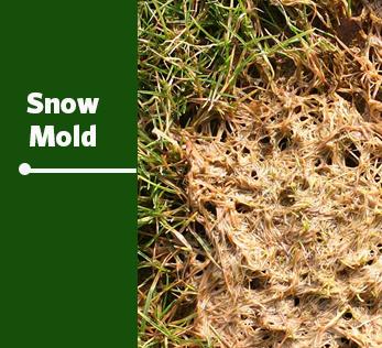 snow mold image