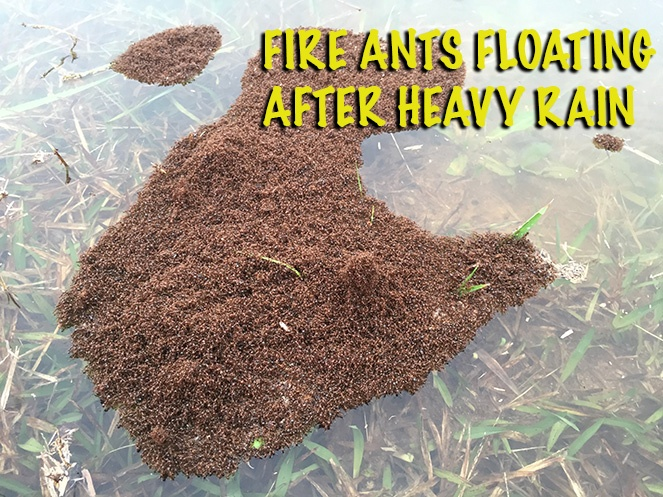 Fire Ants Floating After Heavy Rain