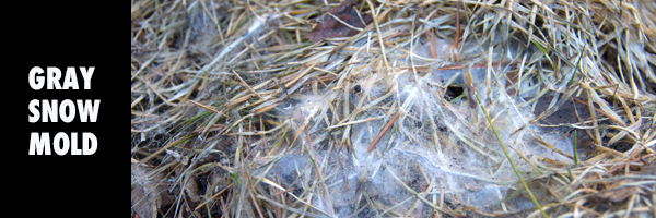 SNOWMOLD_imagery
