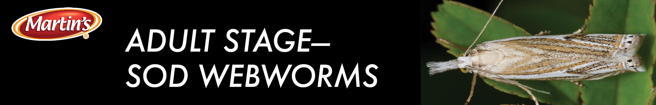 adult sod webworm