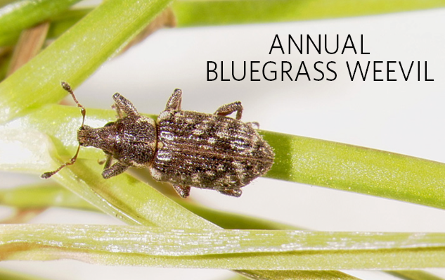 bluegrass-weevil