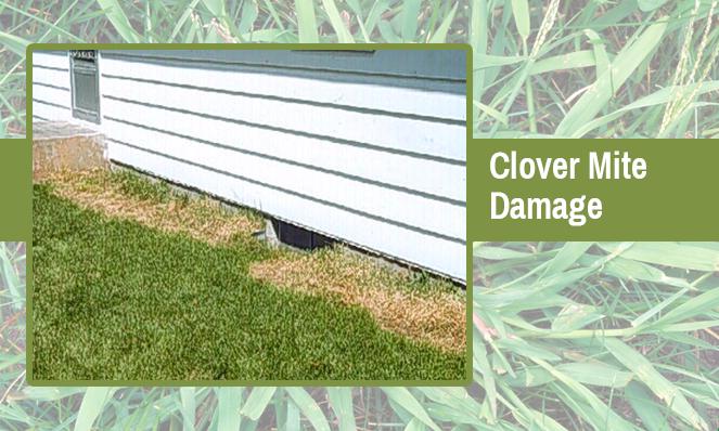 clover-mite-damage