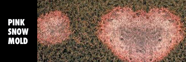 pink_snowMOLD_imagery