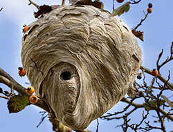 wasp-nest
