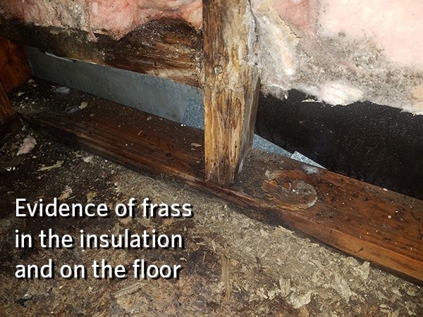 Evidence-of-frass-from-Carpenter-Ant-damage